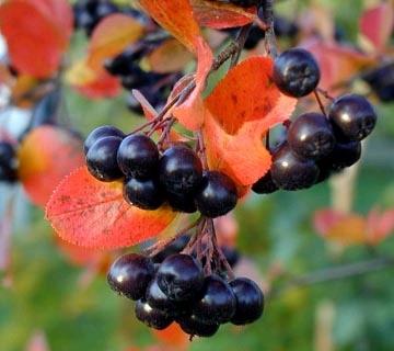 Арония черноплодная (черноплодная рябина). Плоды