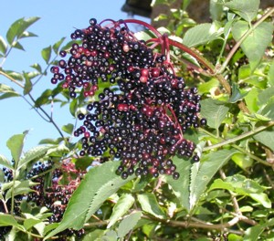 Бузина черная. Лечебные свойства ягод и цветов бузины